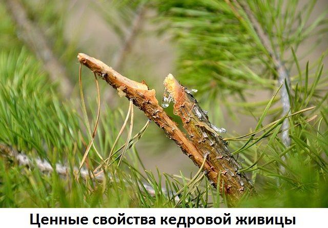 Природный антисептик или живица